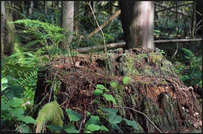 Western Rededar Stump