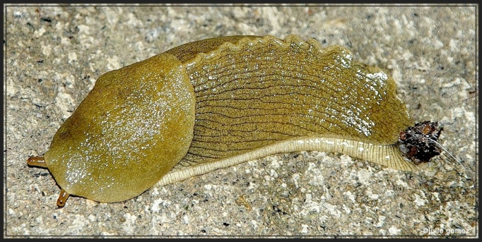 This photo shows the banana slug with yellow-green coloring.  At the tail-end is a mucus plug, which is believed to discourage predators.