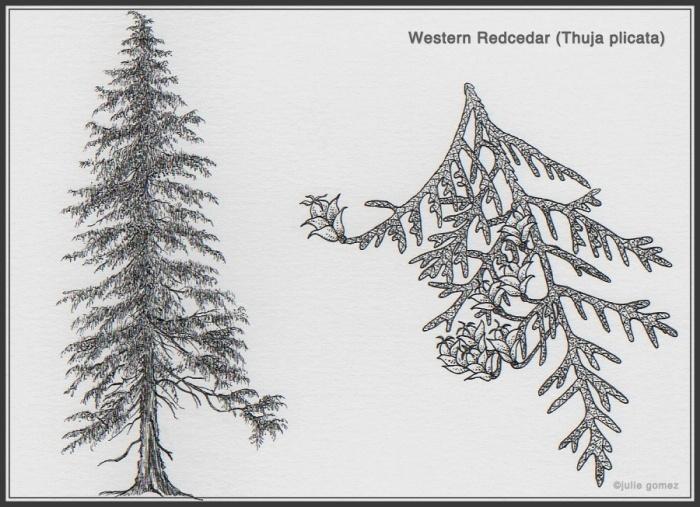Western Redcedar
