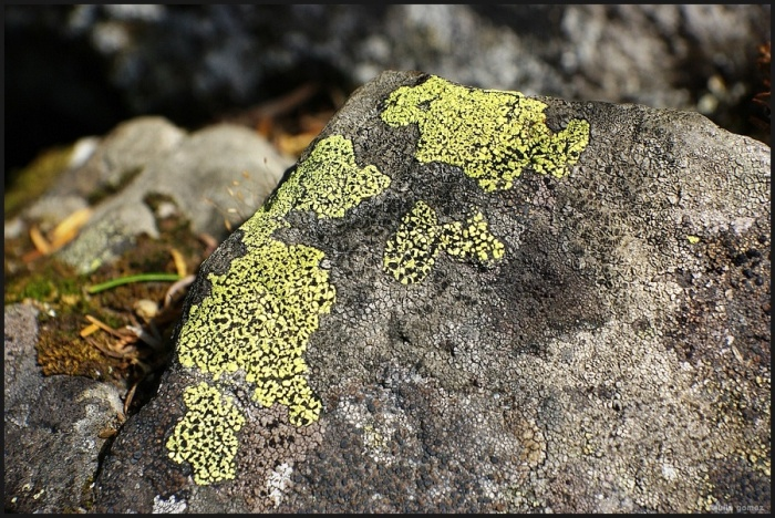 Pleosidium flavum, formerly Acarospora chlorophana