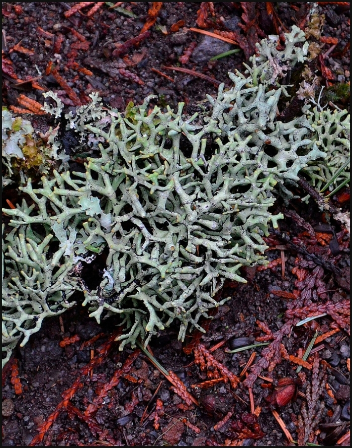 Forked tube lichen (Hypogymnia imshaugii) on a Douglas-fir branch.
