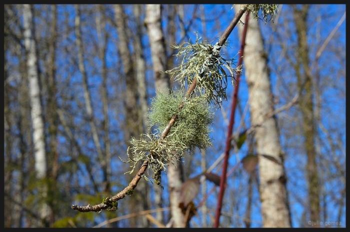 sized_Leaf lichens & shrub lichens_029 copy 3