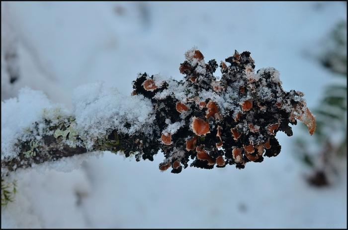 Leaf lichen