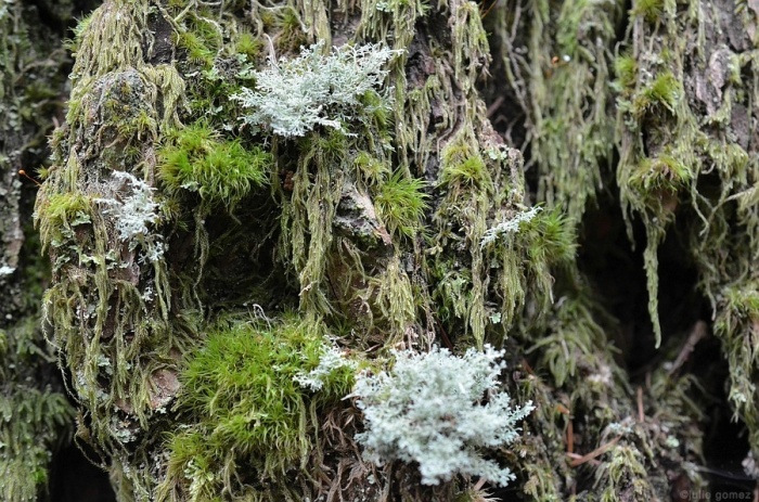 Lichens and moss on Douglas-fir