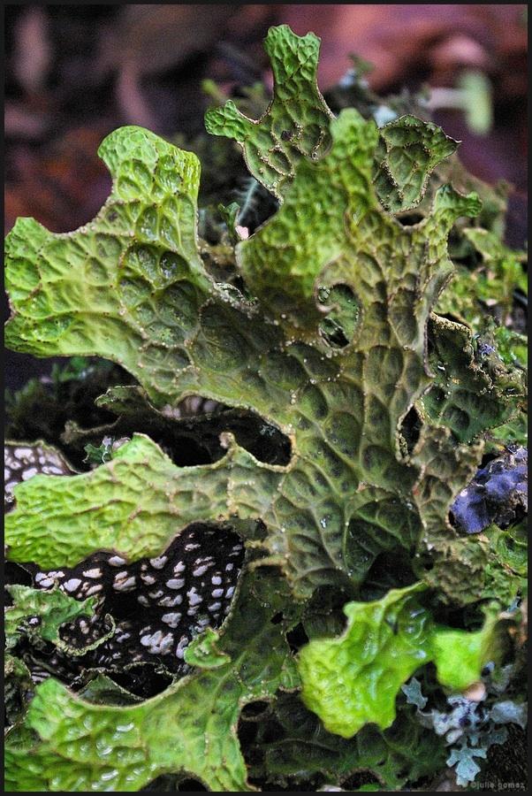Lung lichen (Lobaria pulmonaria): leaf lichen