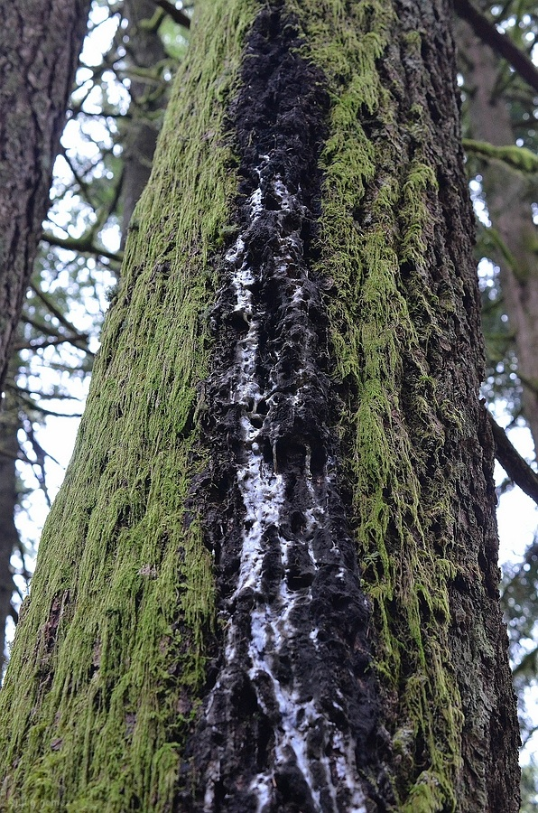 Douglas-fir sap stream