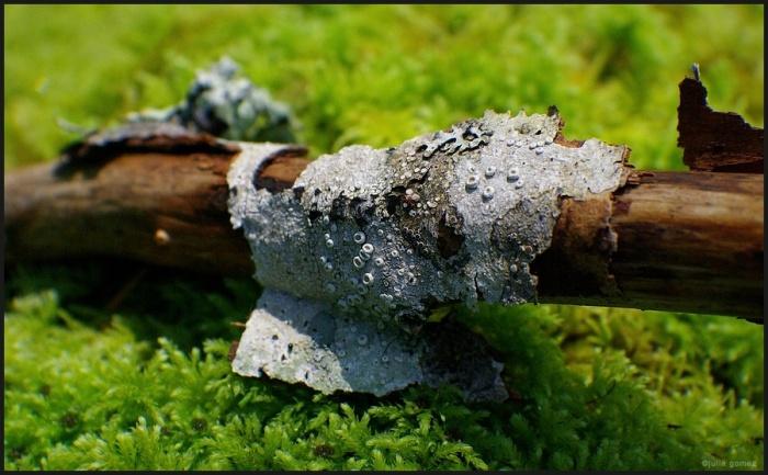 Ochrolechia laevigata Crust Lichen on alder branch.