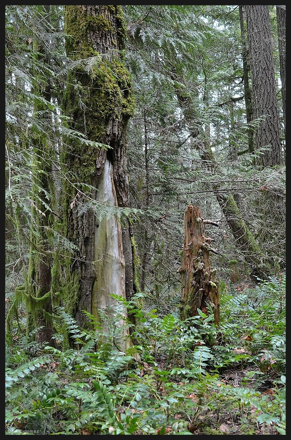 Douglas-fir and snag
