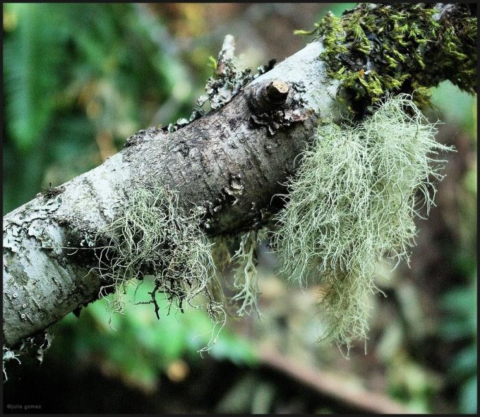 Usnea species Hair Lichens & moss on red alder