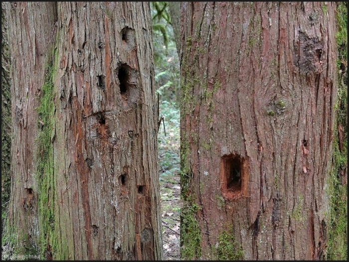 Pileated woodpecker holes on western red cedar