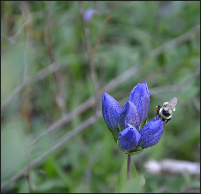 Mixed Bumblebee, Bombus mixtus on Kings Scepter Gentian, Gentian sceptrum