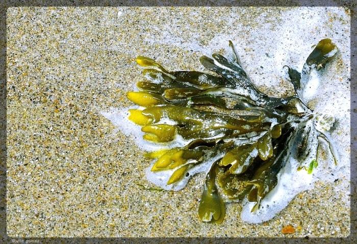 Pacific Rockweed (Fucus gardneri)