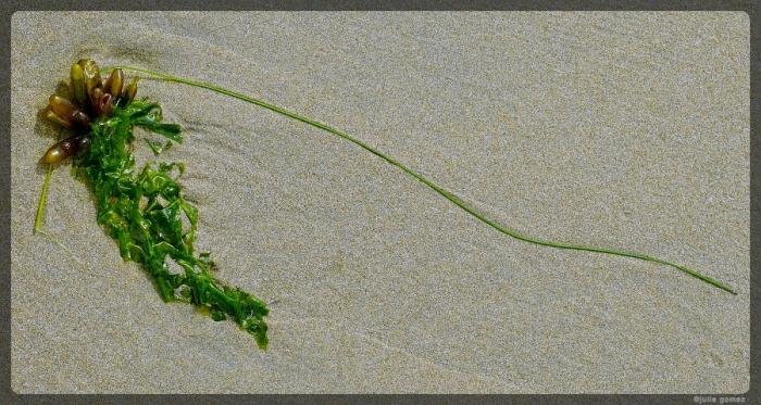 Dead Man's Fingers (Halosaccion glandiforme) and Sea Lettuce (Ulva species)