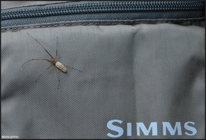 The hitchhiker:  Long-jawed orb weaver (Family Tetragnathidae)