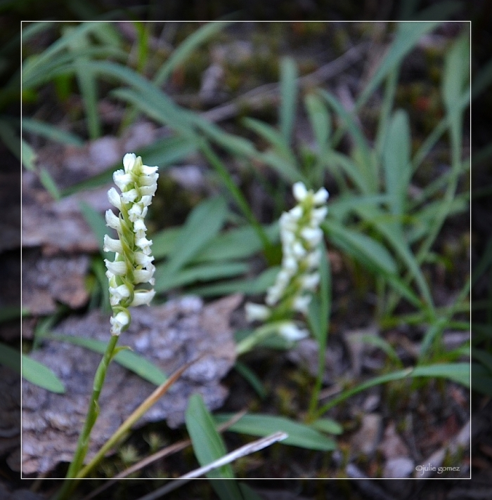 Hooded Ladies' Tresses (Spiranthes romanzoffianal)