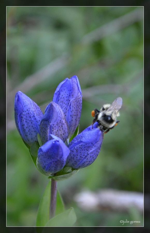 Two-form bumblebee (Bombus bifarius) foraging King's Scepter Gentian (Gentiana sceptrum)
