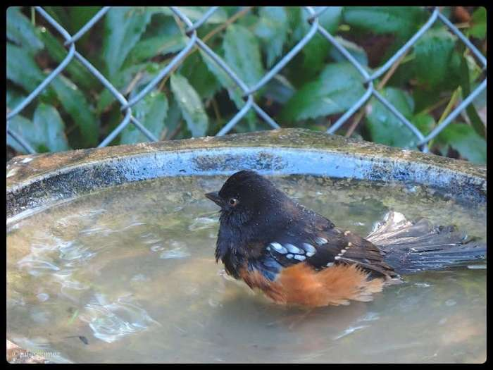 Mr. Towhee takes a bath