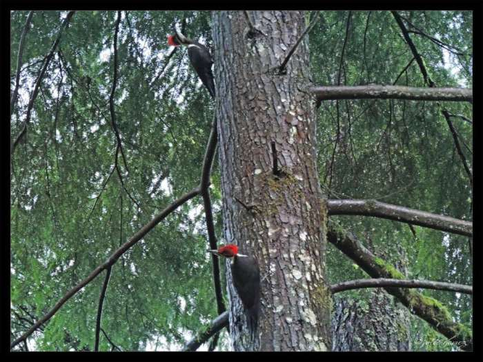 Female Pileated Woodpeckers (Dryocopus pileatus) formerly Picus pileatus