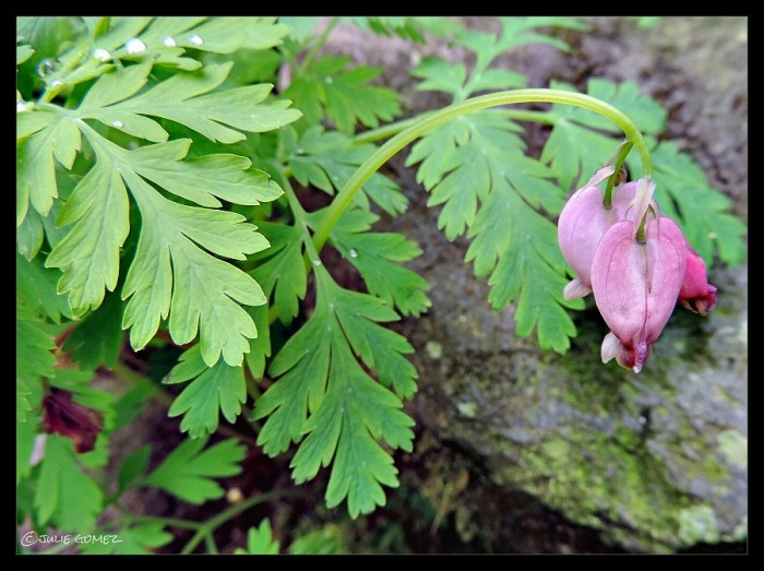 Pacific Bleeding Heart (Dicentra formosa)