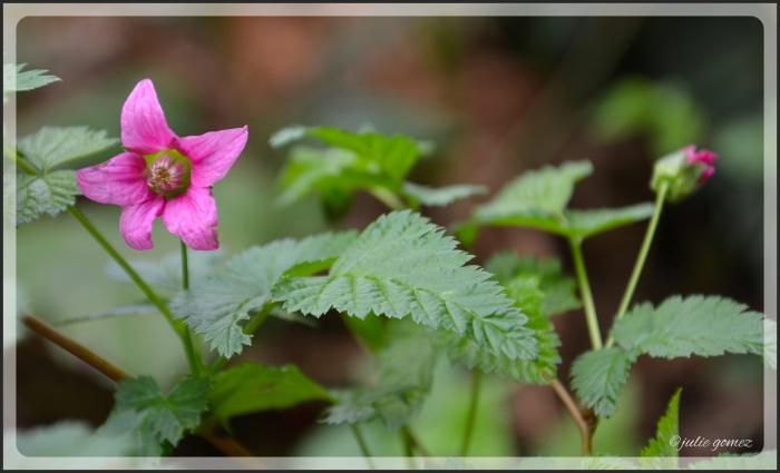 Salmonberry Flowers 4-2014_003_Fotor-2
