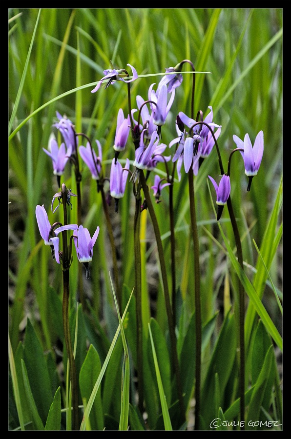 Tall Mountain Shooting Star ~ Dodecatheon jeffreyi