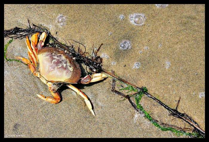 Dungeness crab  (Metacarcinus magister) along the strandline in Alsea Bay, Waldport, Oregon Coast.