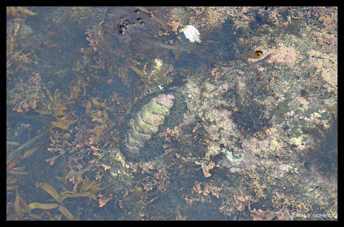 Mossy Chiton (Mopalia muscosa) underwater—Simpson Beach, Oregon Coast.
