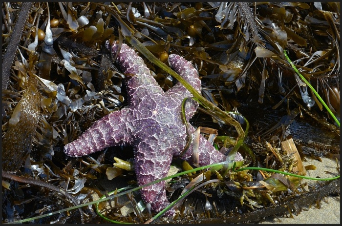 Purple Sea Star (Pisaster ochraceus) along the strandline of Bastendorff Beach, Coos Bay, Oregon.