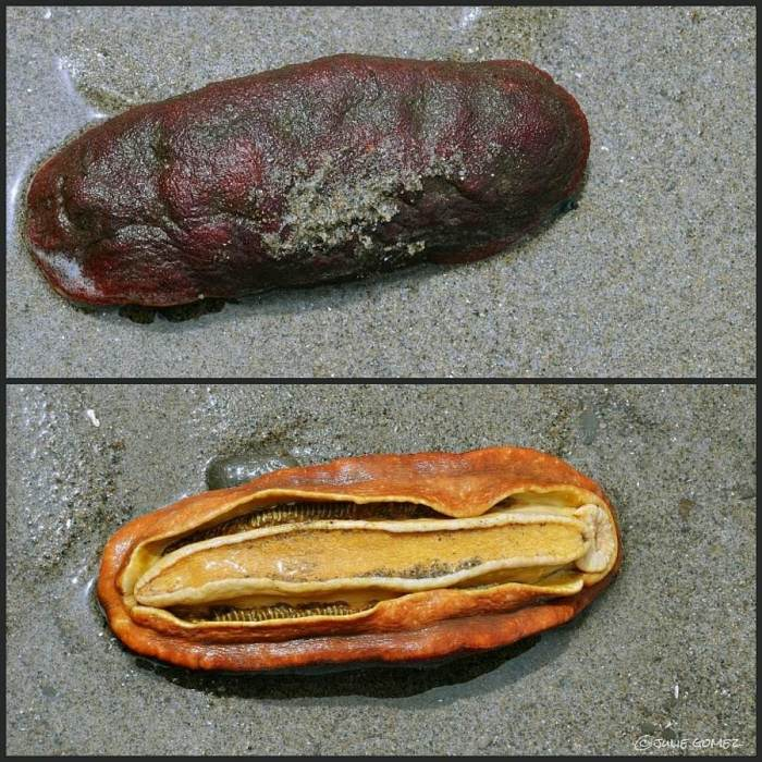 Gumboot Chiton (Cryptochiton stelleri) along the strandline of Sunset Bay, Oregon Coast.