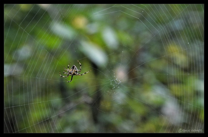 European Garden Spider (Araneus diadematus) spinning her morning web in the McIver Woods.