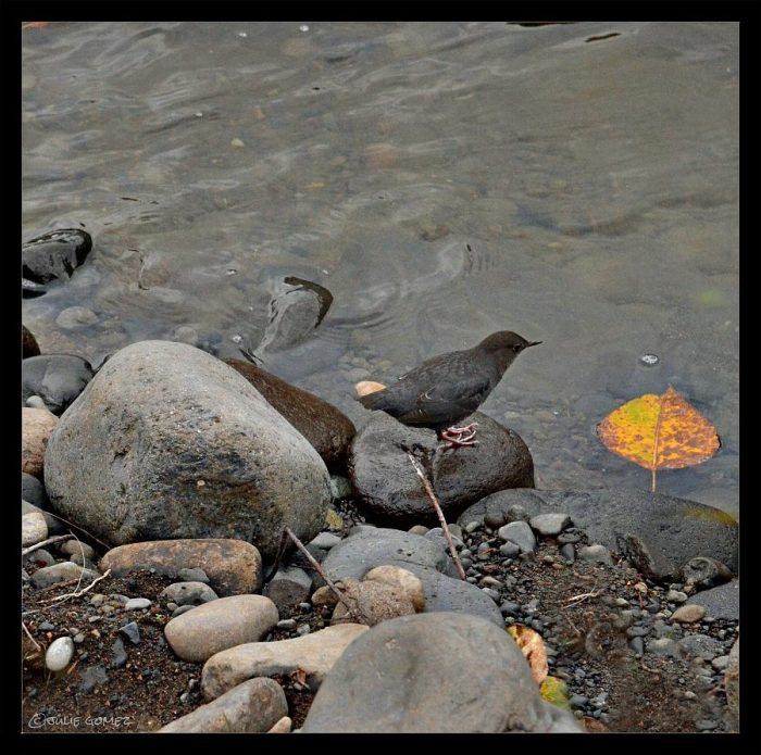 An American dipper pauses to look at a cottonwood leaf