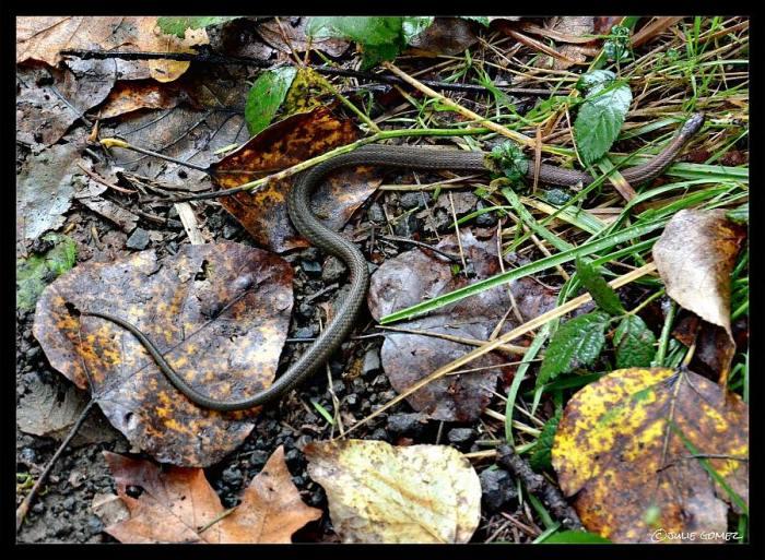 Western Terrestrial Garter Snake (Thamnophis elegans) along the trail