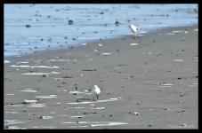 Sanderling—Calidris alba