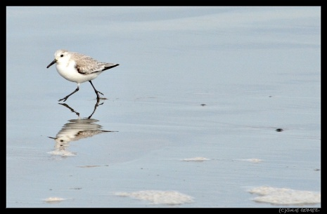 Sanderling—Calidris alba