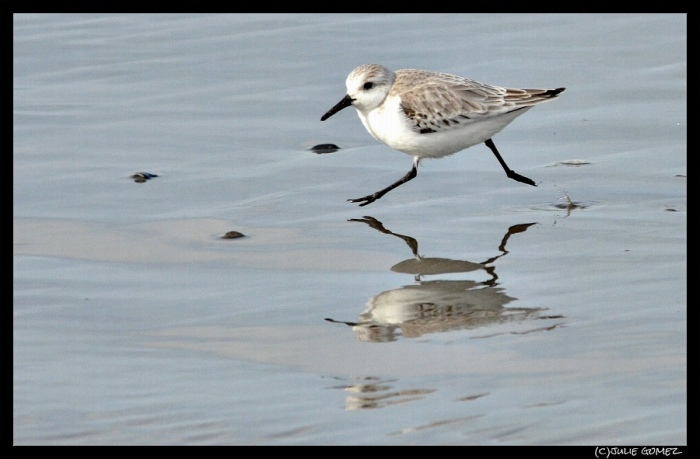 Sanderling (Calidris alba) at Bullards Beach, Oregon Coast