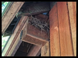Mourning dove nest above the door