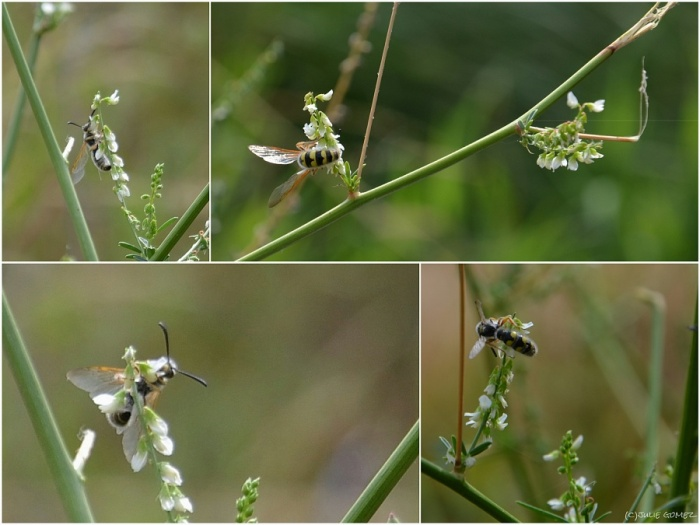 Scoliid Wasp on White Sweet Clover (Melilotus albus)