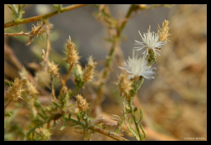 White Knapweed (Centaurea diffusa)—Deschutes River Canyon.