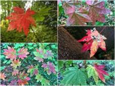 After the tree work, vine maple leaves turned vivid colors