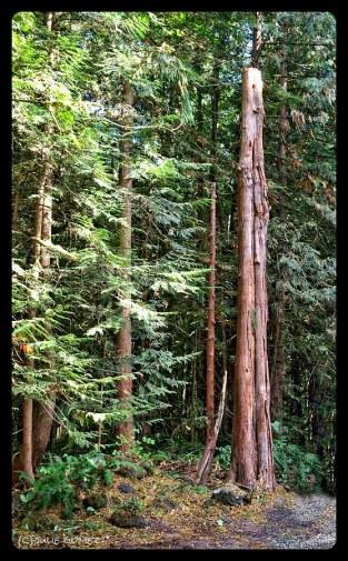 Big Red Cedar Snag, 20-feet left standing for habitat