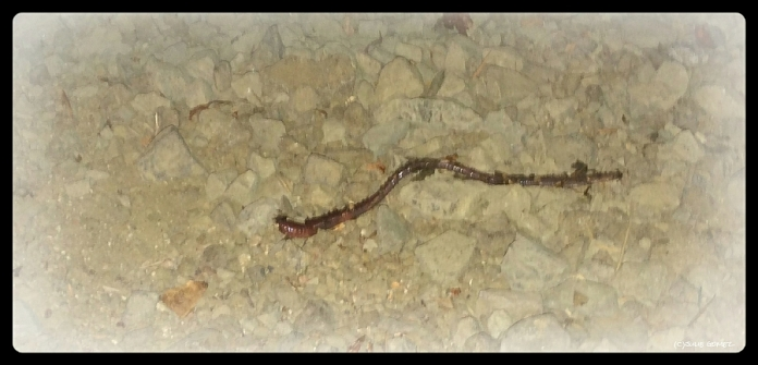 Earthworm caught and released in the mulch