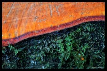 Beautiful red alder wood; its trunk will provide important nurse log habitat