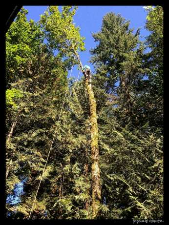 Tree cutter about to fell another bigleaf maple