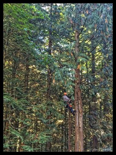 Tree cutter limbing Big Red Cedar