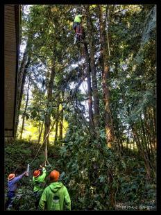Tree cutters cutting Triple Trunk Bigleaf Maple. The trunks (12-feet tall) are left for habitat