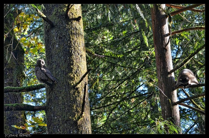 Great-horned owl sees the baby raccoon