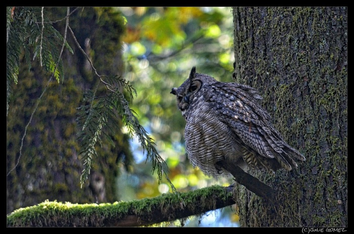 Great-Horned Owl ruffles her feathers