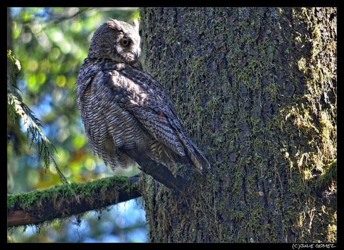 Great-horned owl watching baby raccoon