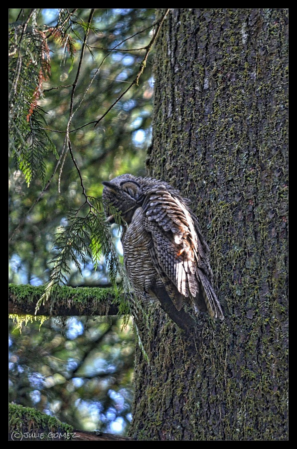 Great-horned owl preening