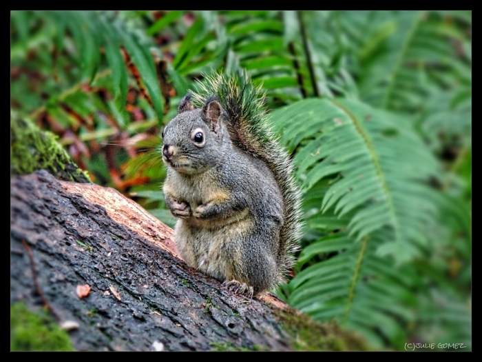 Mr. Nutkin the Douglas Squirrel